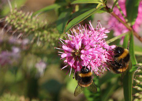 Nature, Insect, Bee, Flower, Flora