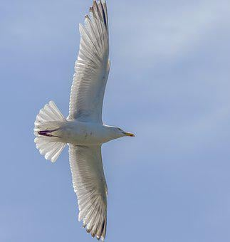 Bird, Seagulls, Wildlife, Flight, Nature, Gull, Animal