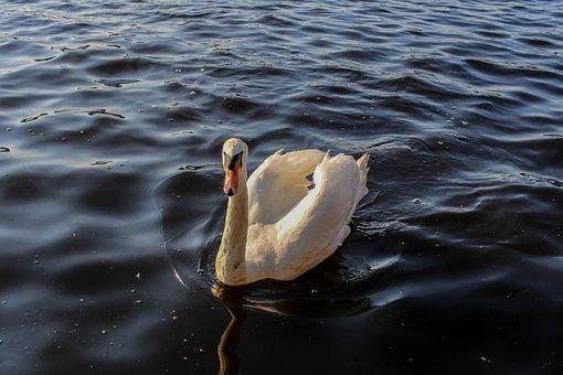 Waters, Bird, Sea, Lake, Swim, River, Nature