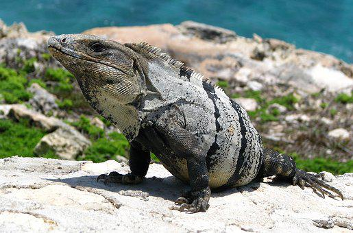 Iguana, Lizard, Reptile, Nature, Animal, Wild Animals