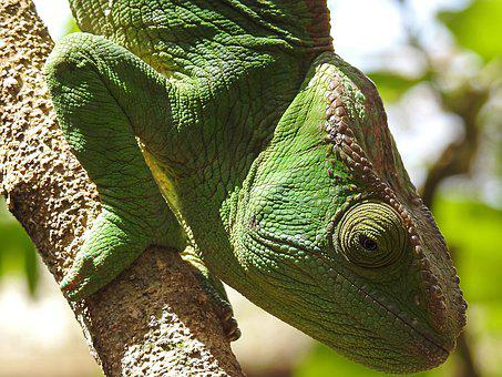Wildlife, Nature, Reptile, Animal, Lizard, Chameleon