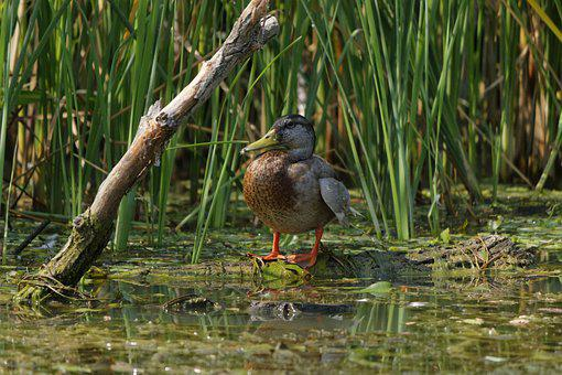 Bird, Wildlife, Nature, Pool, Animal, Duck, Swamp