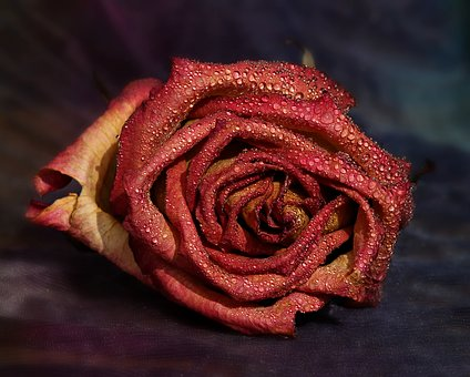 Rose, Red, Yellow, Drops, Flower, Petals