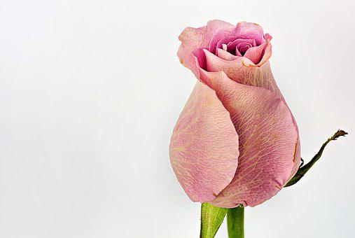 Rose, Pink, Text Space, Macro, Nature, Flower, Love