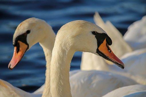 Swan, Bird, Swim, Nature, Waters, Animal World
