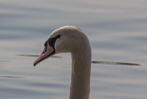 Bird, Swan, Waters, Animal World, Nature, Lake, Water