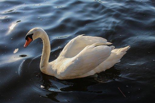 Bird, Waters, Swan, Lake, Water Bird, Nature