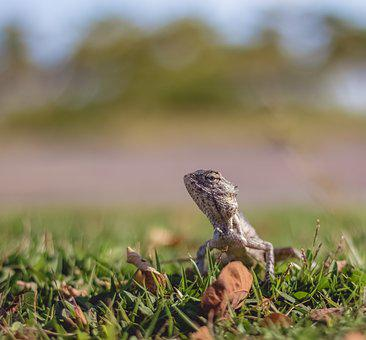 Wildlife, Nature, Animal, Lizard, Reptile