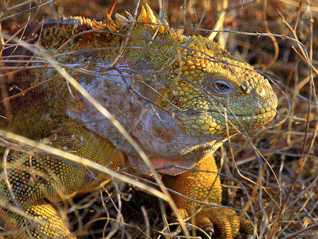Reptile, Nature, Lizard, Animal, Wildlife