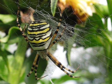 Insect, Spider, Animal World, Garden, Zebraspinne