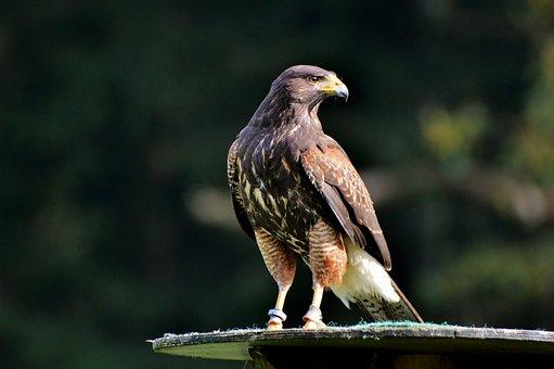 Peregrine Falcon, Falcon, Bird Of Prey, Raptor, Bird