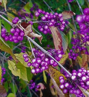 Callicarpabodinieri, Bodinia Your'sbeautyberry, Berries