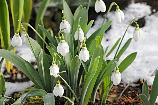 Snowdrop, Snow, Cold, Spring, Signs Of Spring