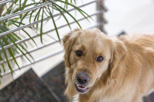 Cute, Dog, Pet, Animal, Golden Retriever