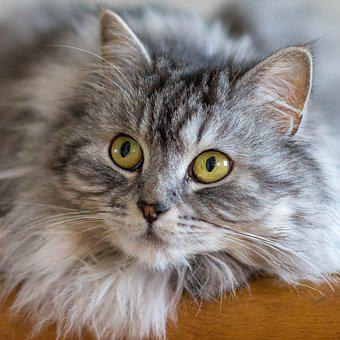 Cat, Animals, Cute, Fur, Portrait, Look, Ingestion, Pet