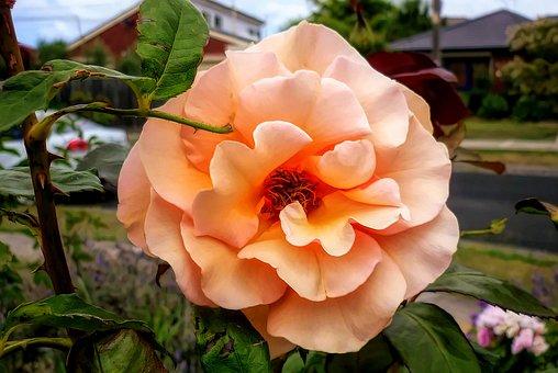 Flower, Nature, Leaf, Flora, Garden