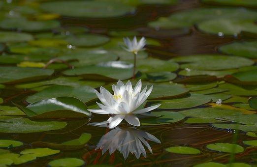 Pool, Lotus, Lily, Aquatic, Flower, Flora, Nature