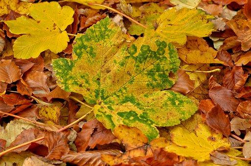 Autumn, Leaf, Season, Nature, Maple, Garden