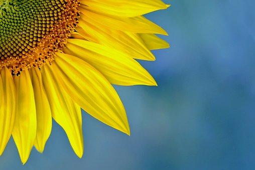Nature, Plant, Summer, Flower, Sunflower, Color