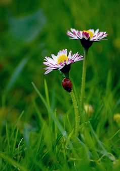 Nature, Lawn, Flower, Summer, Plant, Daisy, Ladybug