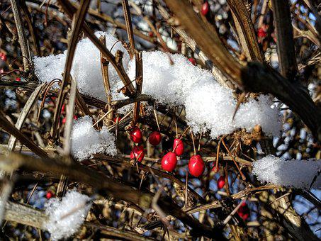 Snow, Berries, Berry Red, Mood, Nature, Cold, Red