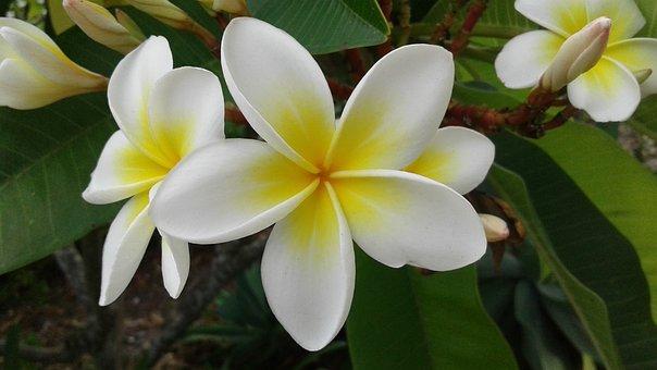 Flower, Tropical, Frangipani, Plant, Nature, Plumeria