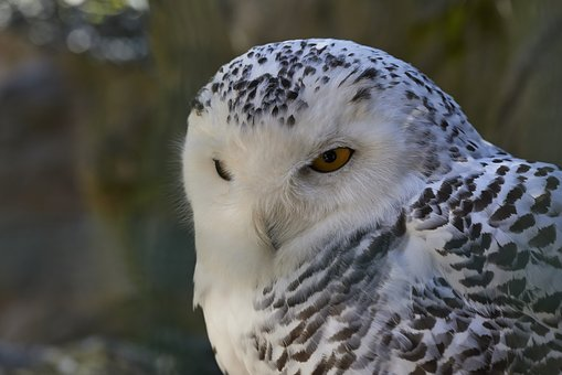 Animal World, Bird, Nature, Animal, Bill, Snowy Owl