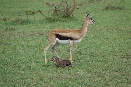 Animal, Wildlife, Mammal, Grass, Nature, Gazelle, Baby