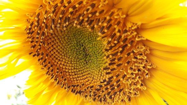 Sunflower, Flora, Nature, Flower, Beautiful, Bright