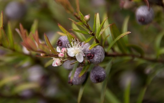 Flower, White, Blossom, Midgen Berry, Purple