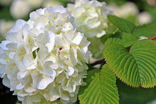 Natural, Flowers, Plant, Leaf, Garden, Hydrangea, It Is