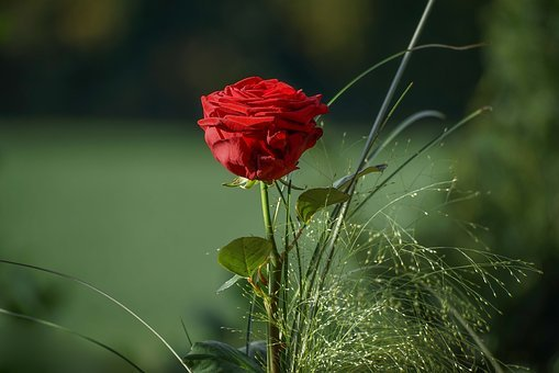 Rose, Red, Bouquets, Valentine, Love, Greeting, Flower