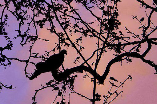 Tree, Nature, Dove, Silhouette, Sky, Bird