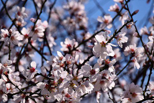 Almond Tree, Almond Blossom, Flowers, Spring, Tree