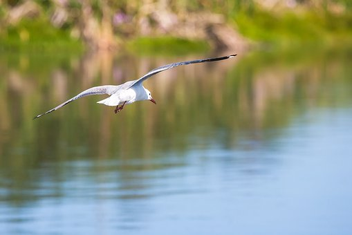 Hartlaub Gull In Flight, Water, Reflection, Wings