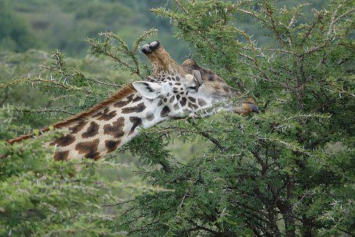 Nature, Wildlife, Animal, Wild, Outdoors, Giraffe
