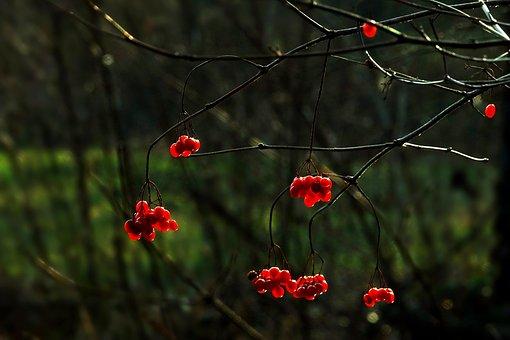 Nature, Tree, Berry Red, Winter, Plant, Season, Bush