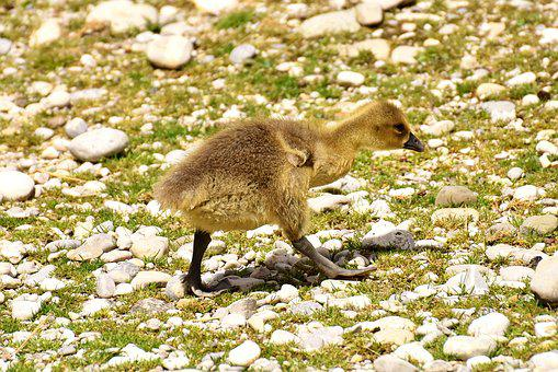 Goslings, Wildlife Photography, Young Bird
