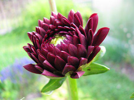 Nature, Plant, Flower, Garden, Summer, Aster