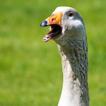 Bird, Animal World, Nature, Bill, Animal, Goose