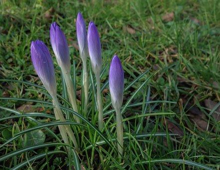 Crocus, Nature, Flower, Plant, Grass, Blossom, Bloom