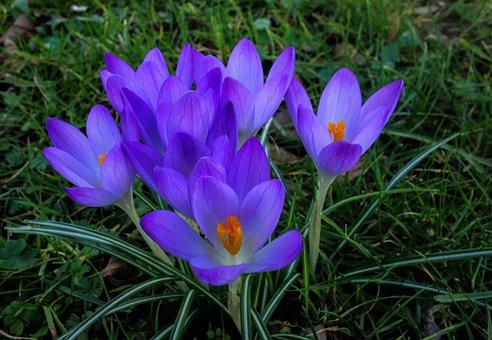 Crocus, Nature, Flower, Plant, Garden, Spring, Flowers