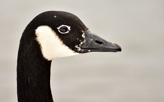Goose, Water Bird, Wild Goose, Animal, Feather, Poultry