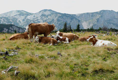 Meadow, Grass, Cow, Graze, Alpine Dairy Farming, Nature