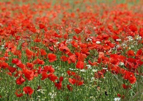 Poppy Field, Poppies, Chamomile, Meadow