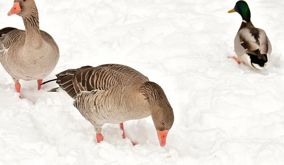 Geese, Duck, Waterfowl, Poultry, Snow, Plumage, Winter