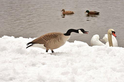 Goose, Swan, Ducks, Waterfowl, Poultry, Snow, Plumage