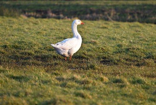 Goose, Bird, Fowl, Waterfowl, Wildlife, Fauna, Feather