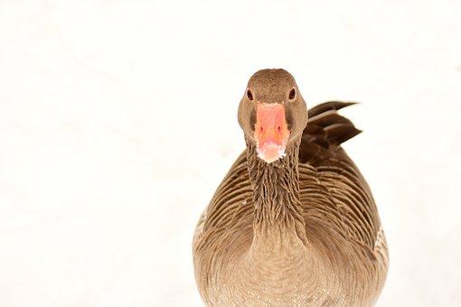 Goose, Water Bird, Snow, Winter, Wildlife Photography