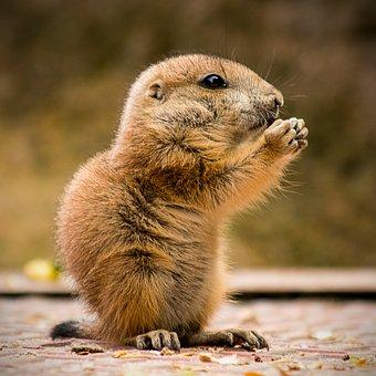 Animal World, Cute, Mammal, Nature, Animal, Prairie Dog